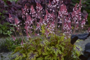 Heucherella 'Eye Spy'