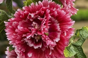 Alcea 'Fiesta Time' SOLD OUT