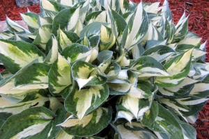 Fire And Ice, Hosta