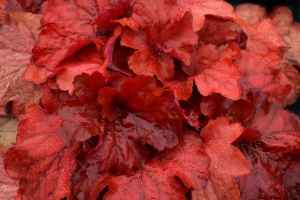 Heuchera 'Fire Alarm' SOLD OUT