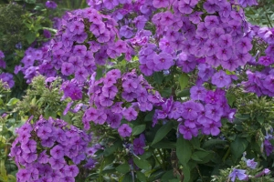 Phlox 'Flame Series Purple'