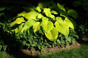 Great Lakes Gold, Hosta