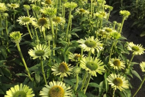 Echinacea 'Green Jewel' SOLD OUT