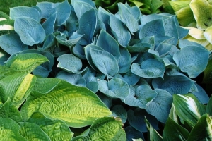 Hadspen Blue, Hosta
