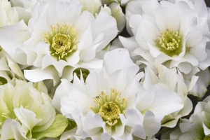 Helleborus 'Wedding Bells' NEW 2020