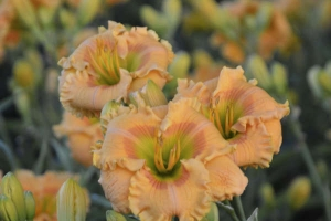 Hemerocallis 'Orange Smoothie'