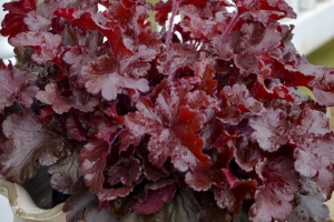 Heuchera 'Cherry Ruffles'