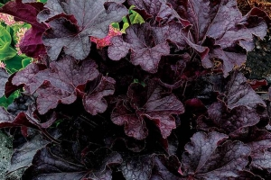 Heuchera 'Grande Black'