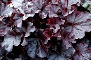 Heuchera 'Northern Exposure Black'