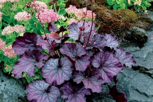 Heuchera 'Northern Exposure Purple'