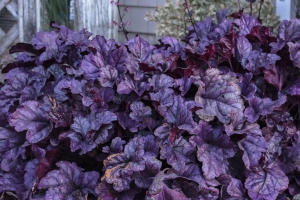 Heuchera 'Wildberry' SOLD OUT