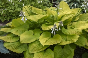 Age of Gold, Hosta SOLD OUT