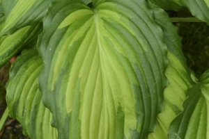 Angel Falls, Hosta