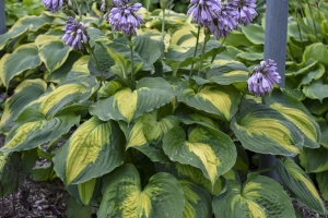 Beyond Glory, Hosta