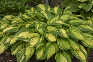 Rainbow's End, Hosta