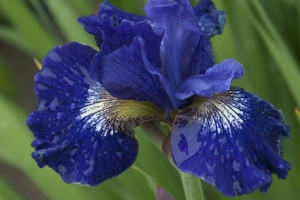 Iris 'Over in Gloryland'