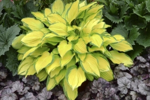 Island Breeze, Hosta