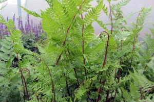 Fern Athyrium 'Lady In Red' (Sold Out)