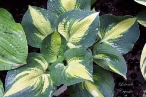 Lakeside Cupcake, Hosta (Sold Out)