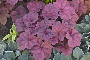 Heuchera 'Lava Lamp'