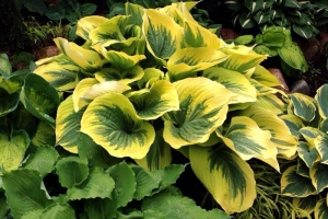 Liberty, Hosta SOLD OUT