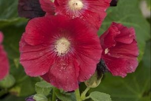 Alcea 'Mars Magic' SOLD OUT