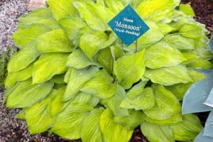 Monsoon, Hosta