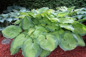 Old Glory, Hosta