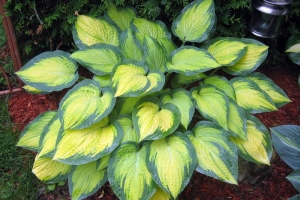 Orange Marmalade, Hosta