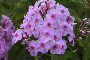 Phlox 'Uptown Girl' NEW 2020