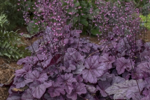 Heuchera 'Pink Panther'