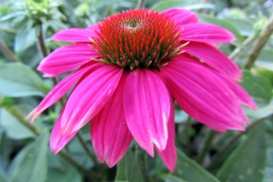 Echinacea 'Pow Wow Wildberry'