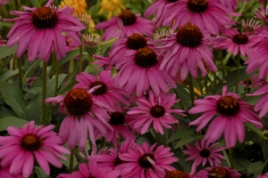 Echinacea 'Purple Emperor' SOLD OUT