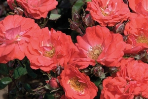 Rosa 'Coral Drift' (Sold Out)