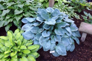 Silver Bay, Hosta SOLD OUT