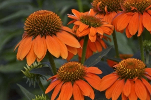 Echinacea 'Sombrero Adobe Orange' SOLD OUT