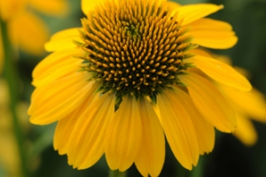 Echinacea 'Sombrero Lemon Yellow' SOLD OUT
