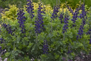 Baptisia 'Sparkling Sapphires' SOLD OUT