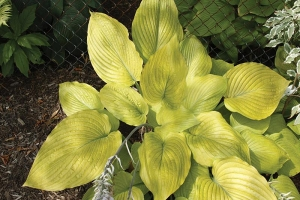 Waiting In Vein, Hosta