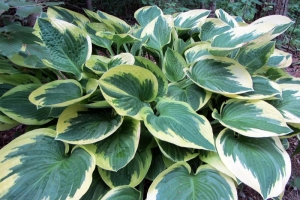 Wide Brim, Hosta