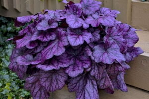 Heuchera 'Wild Rose' SOLD OUT