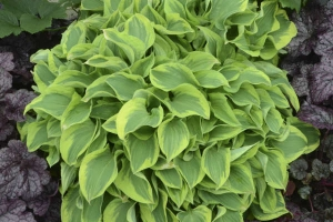 Wrinkle in Time, Hosta