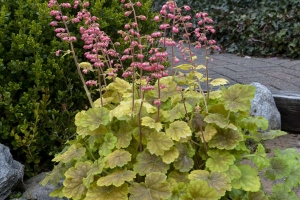 Heuchera 'Your So Vein'