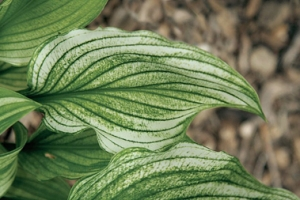 Zebra Stripes, Hosta SOLD OUT